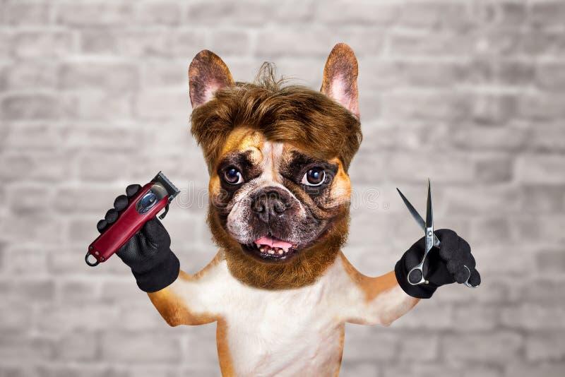 Sax och clipper för håll för fransk bulldogg för rolig hundbarberaregroomer ljust rödbrun man p? vit bakgrund f?r tegelstenv?gg royaltyfria foton