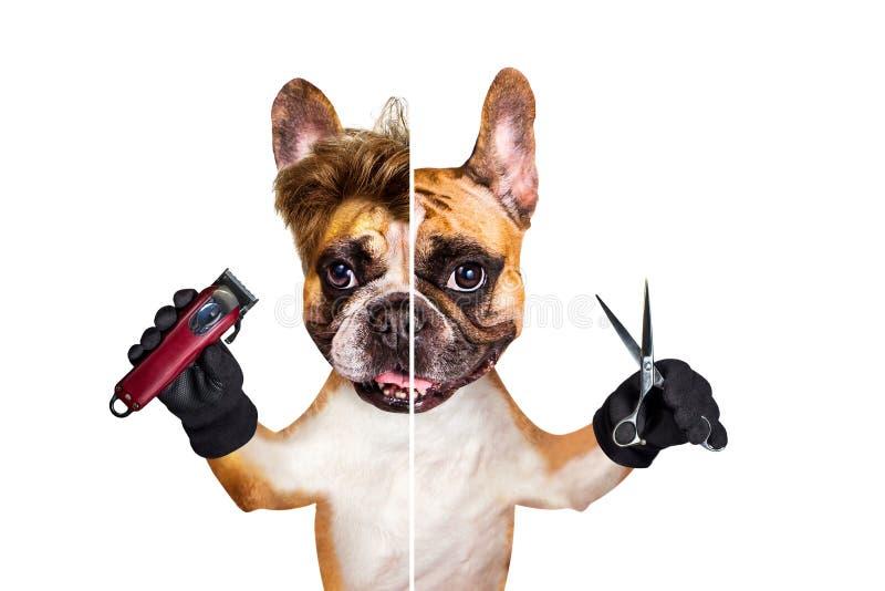 Sax och clipper f?r h?ll f?r fransk bulldogg f?r rolig hundbarberaregroomer ljust r?dbrun bakgrund isolerad manwhite arkivbild