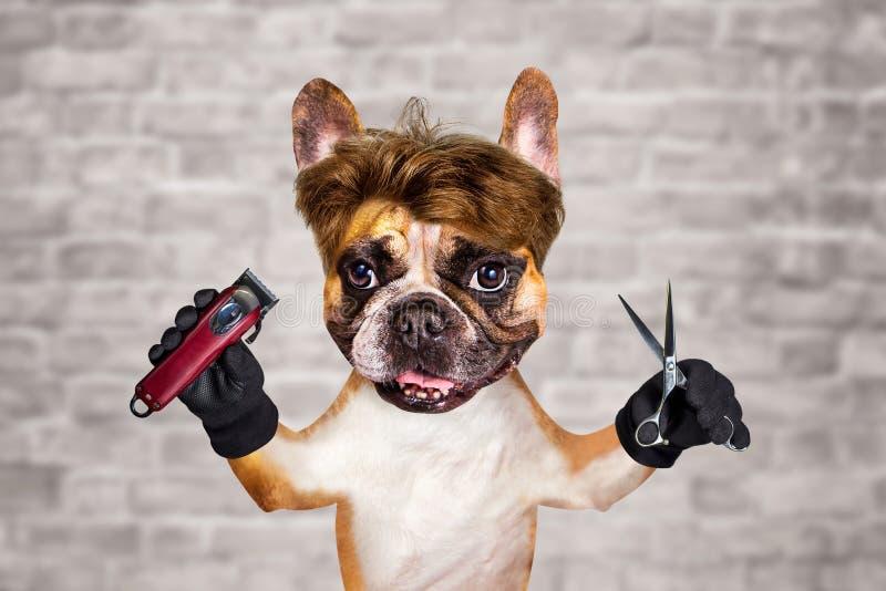 Sax och clipper f?r h?ll f?r fransk bulldogg f?r rolig hundbarberaregroomer ljust r?dbrun man p? vit bakgrund f?r tegelstenv?gg arkivbilder