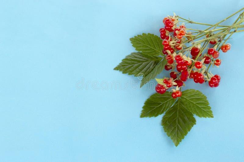 Saxatilis del Rubus della mora di pietra della pianta medicinale immagine stock libera da diritti