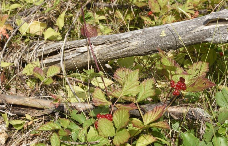 Saxatilis van Rubus van de steenbraambes en een droge tak in sunshi royalty-vrije stock afbeeldingen