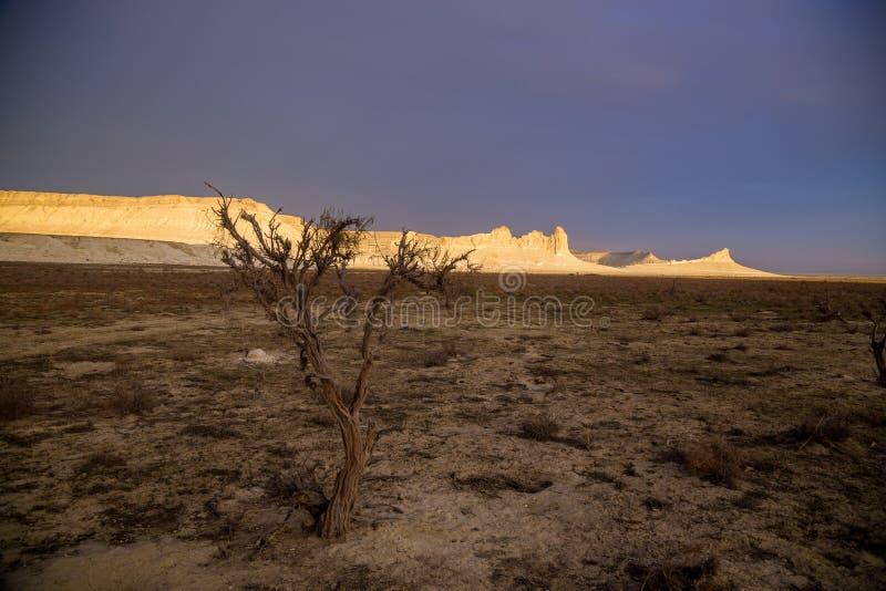 Saxaul asciutto nel deserto su fondo delle rocce bianche alzate, canyon di Boszhira, plateau Ustyurt immagini stock libere da diritti