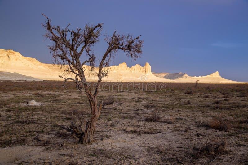 Saxaul asciutto nel deserto su fondo delle rocce bianche alzate, canyon di Boszhira, plateau Ustyurt fotografie stock