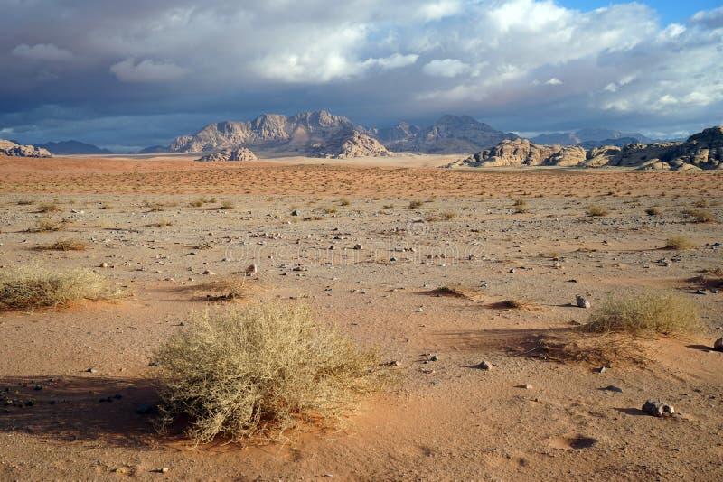 Saxaul nel deserto di Wadi Rum immagini stock