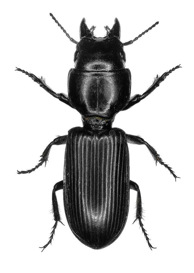 Saxicola de Scarites del escarabajo de tierra fotografía de archivo libre de regalías