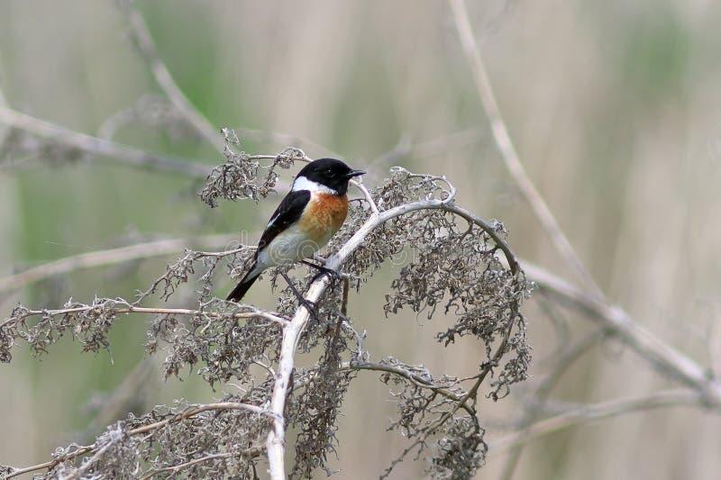 Saxicola torquata Męscy ptaki na suchej gałąź obraz stock