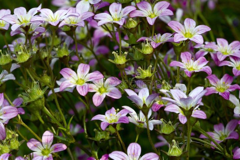 Download Saxifraga paniculata stock photo. Image of nany, horizontal - 20926052