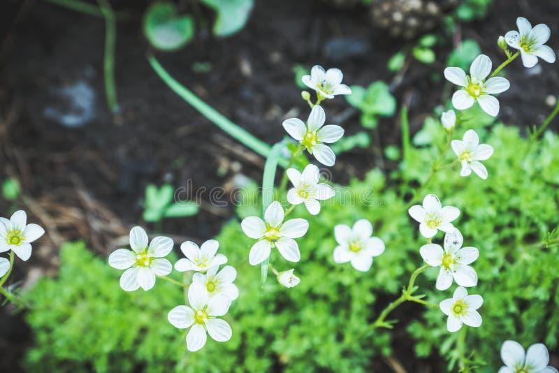 Saxifraga Paniculata alpine saxifrage florescendo no jardim fotografia de stock royalty free