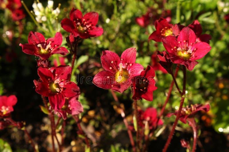 Saxifraga Rockred de color rojo oscuro que crece en un cierre del jardín de rocalla fotos de archivo libres de regalías