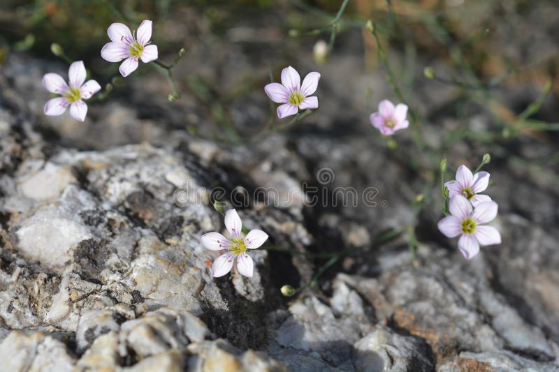 Saxifrage pink royalty free stock photography