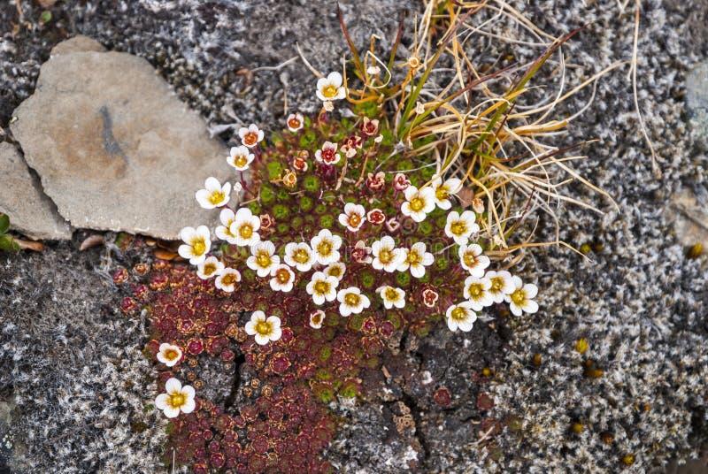 Saxifrage tuftée (cespitosa de Saxifraga) fleurissant, le Svalbard photographie stock libre de droits