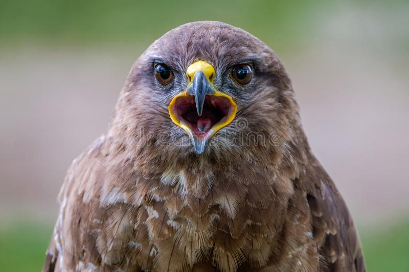 Say Cheese. Portrait of a Common Buzzard stock photography
