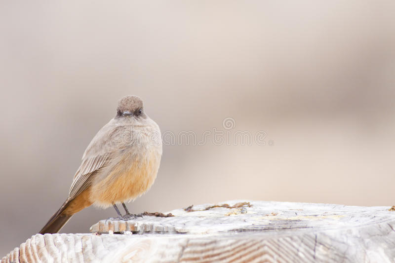 Download Say's Phoebe Fluffed Up stock image. Image of says, perched - 23888377