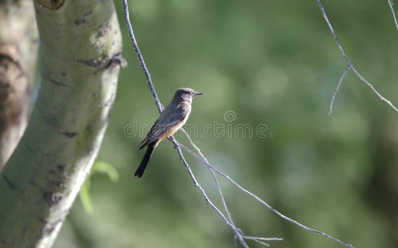 Says Phoebe bird, Tucson Arizona desert stock photography