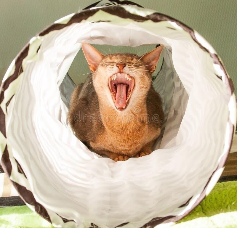 Sbadigli abissini del gatto Ritratto alto vicino del gatto femminile abissino blu, sedentesi sul fondo bianco fotografie stock