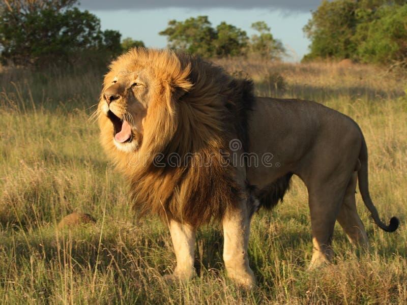 Sbadiglio del leone. immagini stock