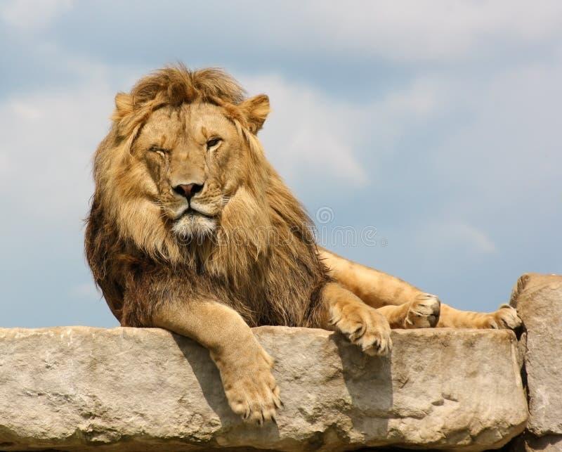 Sbattere le palpebre leone fotografie stock