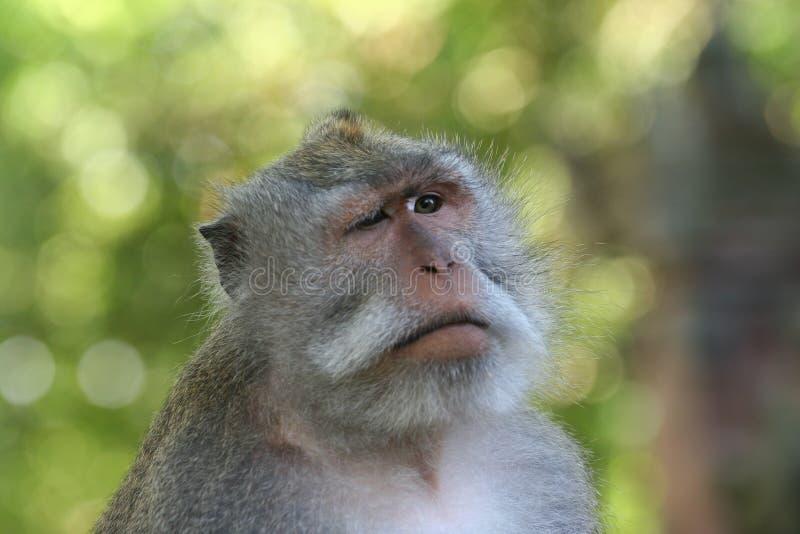 Sbattere le palpebre scimmia fotografia stock libera da diritti