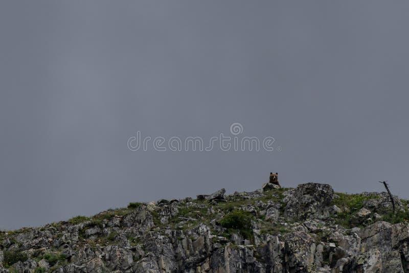 Sbirciate dell'orso grigio sopra la cima di Mountian immagine stock libera da diritti