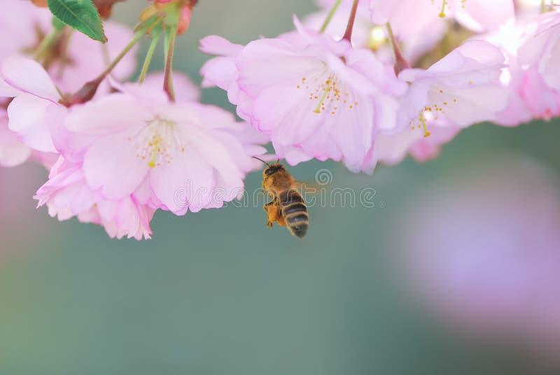 sboccia il colore rosa dell'ape mellifica della ciliegia fotografie stock libere da diritti