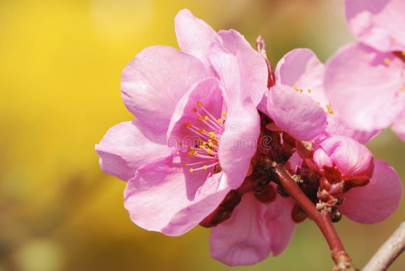 sboccia il colore rosa della ciliegia immagini stock