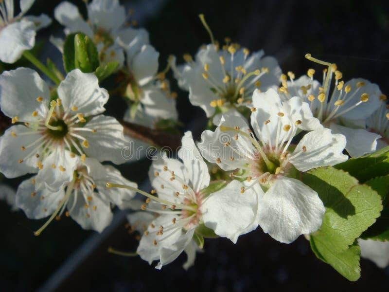 Sbocciando della ciliegia fiorisce nel tempo con le foglie verdi, fondo stagionale floreale naturale di primavera fotografie stock