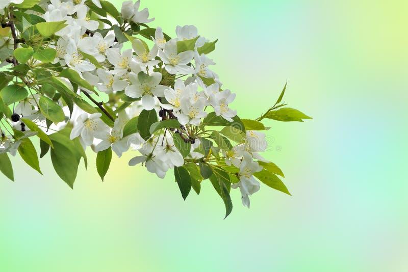 Sbocciare bianco del ramo di melo - bello backgro della molla fotografie stock