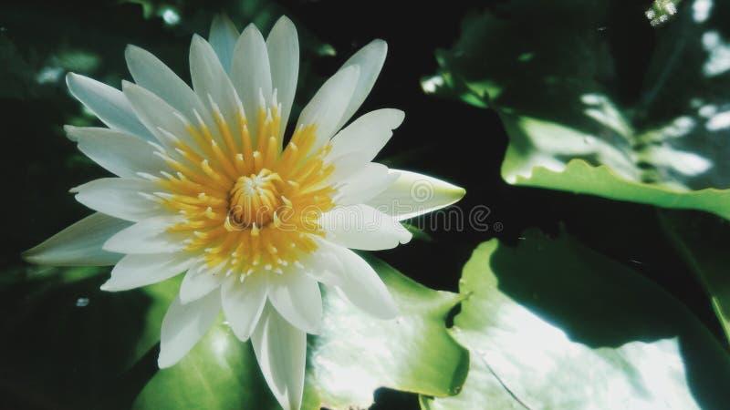 Sbocciare del fiore di Lotus fotografie stock libere da diritti