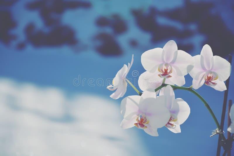 Sbocciare dell'orchidea ha un fondo blu, fondo fresco fotografia stock libera da diritti