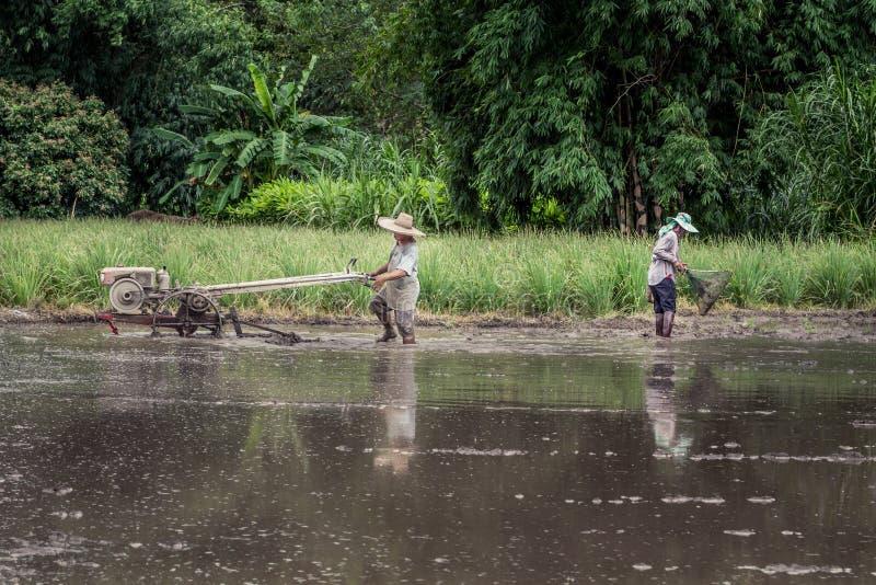 Scène agricole pittoresque de rizière en Thaïlande photo stock