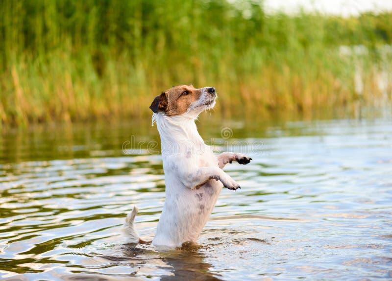 Scène colorée d'été avec le chien actif jouant dans l'eau images libres de droits