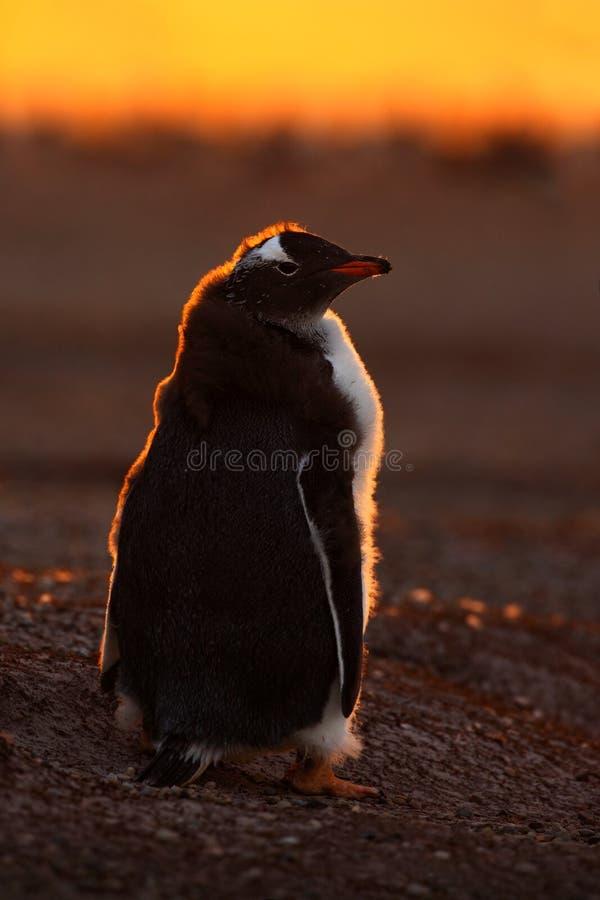 Scène d'evenig de pingouin dans le coucher du soleil orange Beau pingouin de gentoo avec la lumière du soleil Pingouin avec la lu image stock