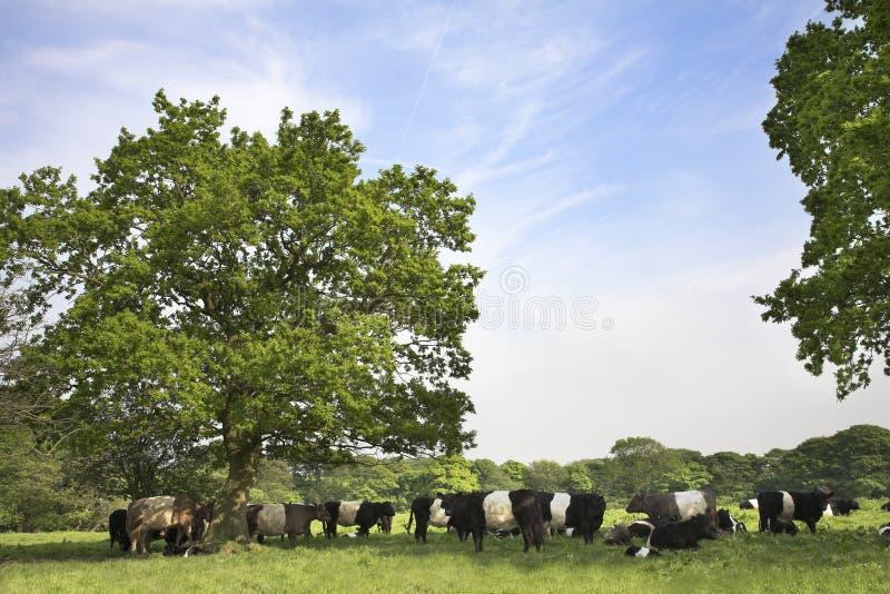 Scène de campagne avec les bétail ceinturés de Galloway images stock
