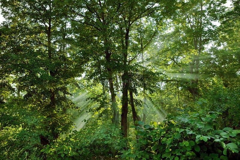 Scène de forêt avec la lumière du soleil photo stock
