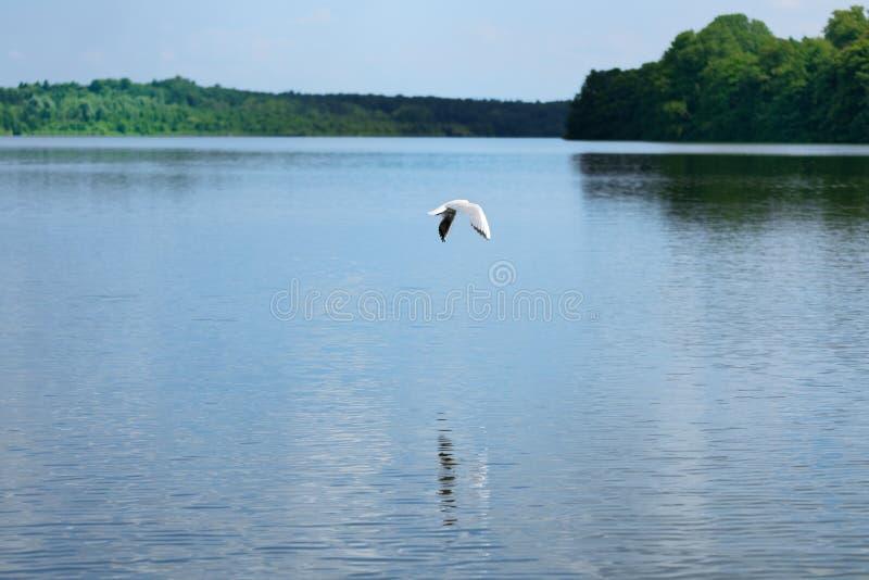Scène de nature de mouette volant au-dessus de l'eau d'un lac photo stock