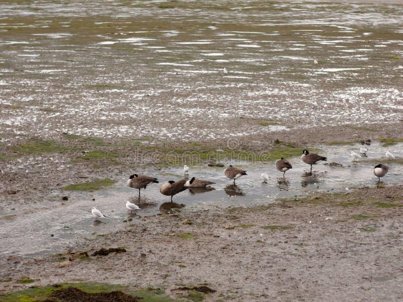 Scène die van Canadese ganzen zich stationair in een lijn in klein bevinden stock afbeeldingen
