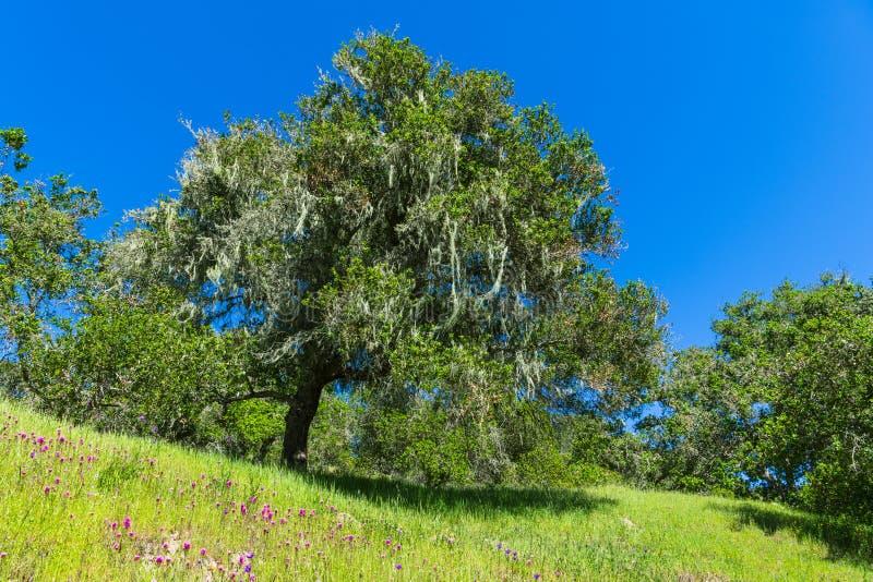 Scène idyllique de ressort/été des chênes dans un pré herbeux vert pointillé avec les wildflowers pourpres et roses photos libres de droits