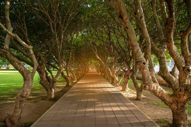 Scène naturelle arrière-plan du tunnel de la plumeria sèche ou de l'arbre Frangipani avec route à pied dans la province de Nan, a photos stock