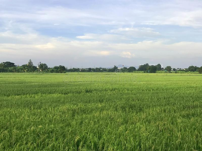 Scène rurale asiatique - rizière de riz avec le ciel flou photos stock
