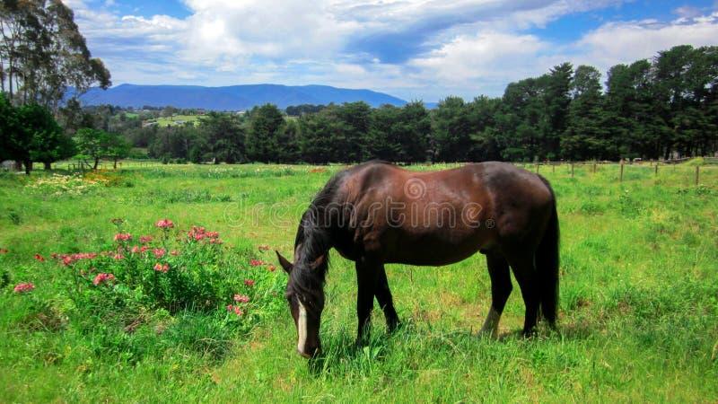 Scène rurale avec un cheval frôlant l'herbe sur un pré dans le printemps image stock