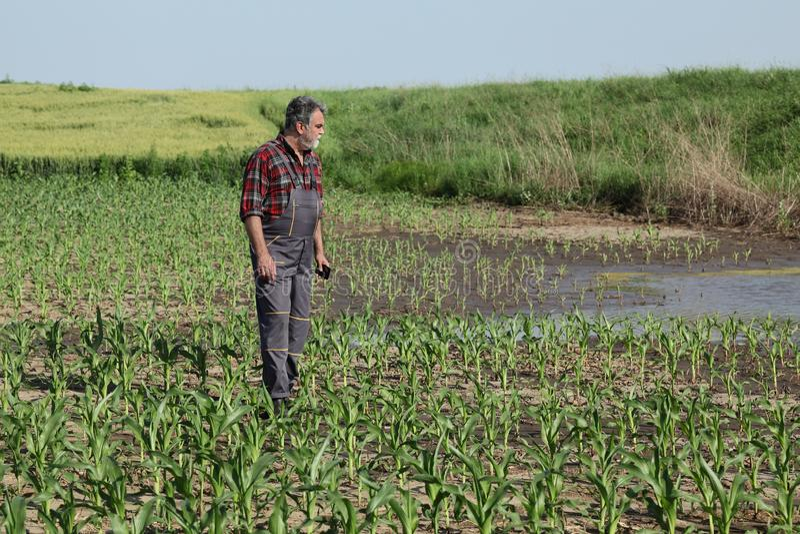 Sc?ne agricole, agriculteur dans le domaine de ma?s photographie stock libre de droits