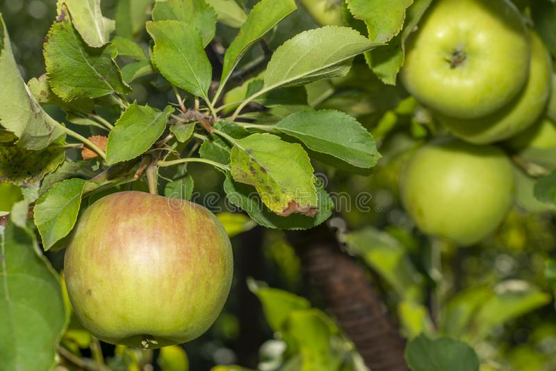 Scab on the leaves and fruits of an apple tree close-up. Diseases in the Apple Orchard. Scab on leaves and fruits of an apple tree close-up. Diseases in the royalty free stock image