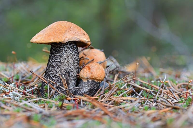 Scaber семьи из трех человек милое красно-покрытое преследует aurantiacum лекцинума в сосне иглы закрывают вверх Грибки, гриб лет стоковые изображения