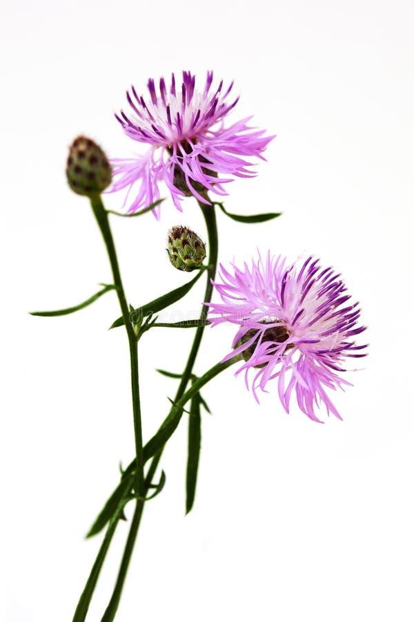 Scabiosa Centaurea στοκ εικόνα με δικαίωμα ελεύθερης χρήσης