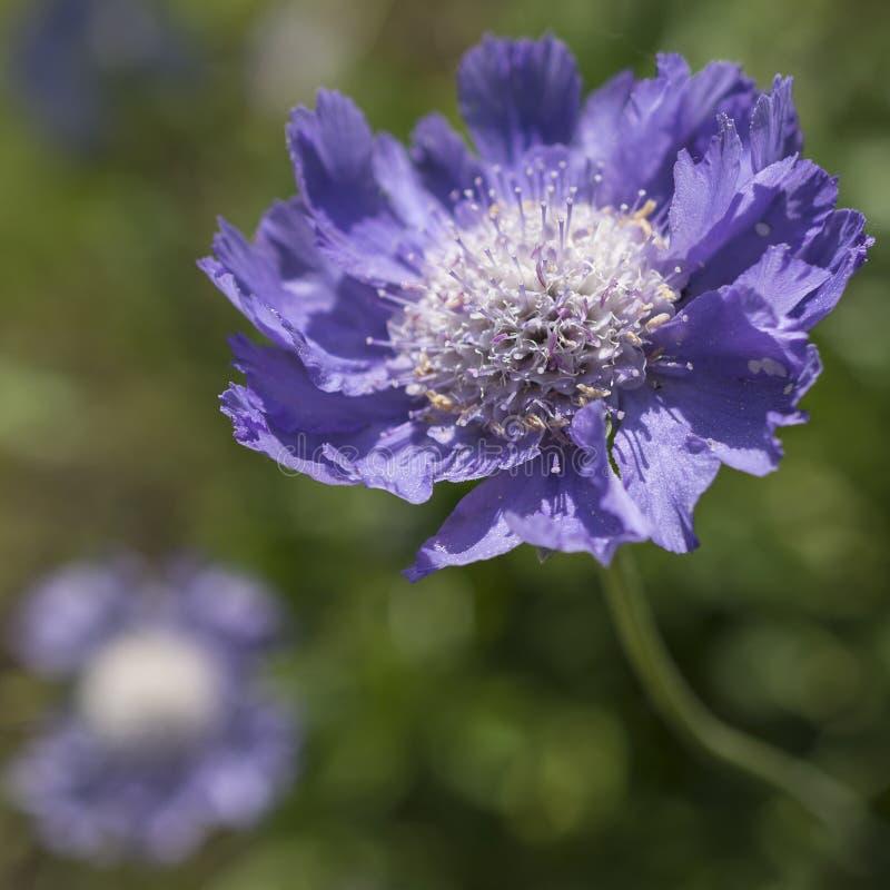 Scabiosa di porpora del fiore fotografia stock