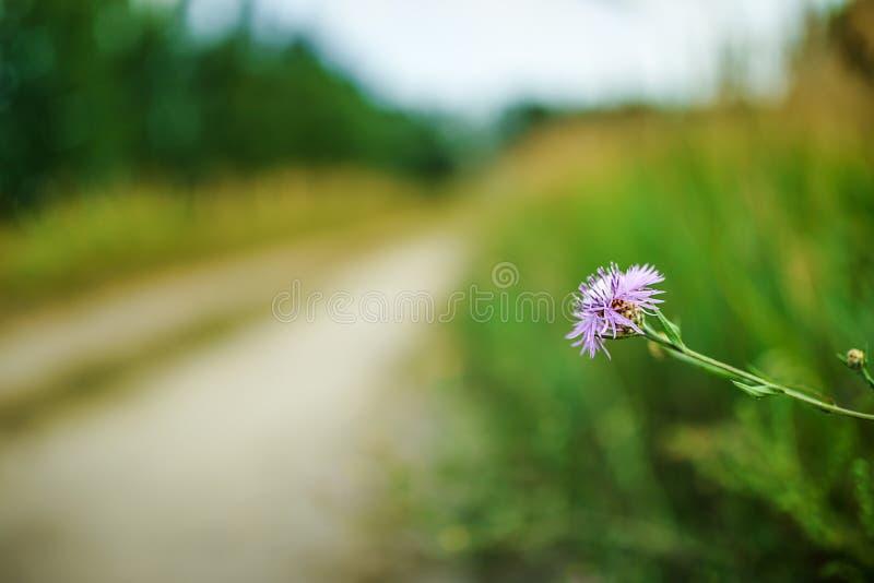 Scabiosa do Centaurea imagem de stock royalty free