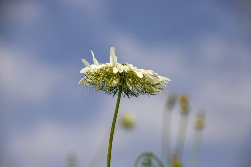 Scabiosa för vit blomma columbaria mot den blåa himlen med moln royaltyfria bilder