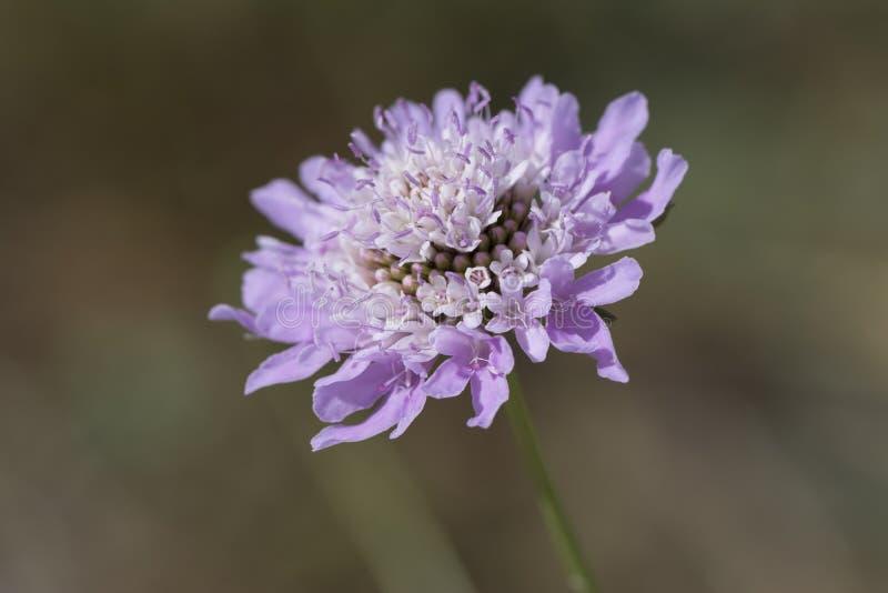 Scabiosa porpora (fiore di puntaspilli) fotografie stock libere da diritti