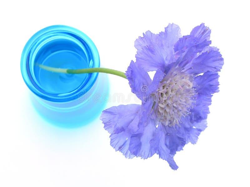 Scabiosa pourpré dans le vase bleu photos libres de droits