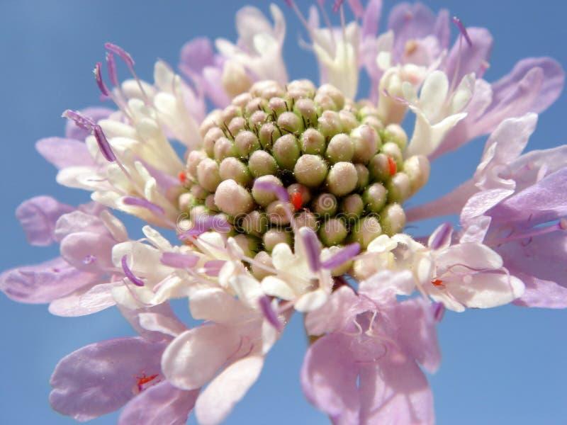 Scabiosa pourpré de fleur images libres de droits